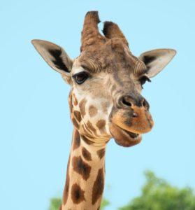 GFK NVC Giraffe Nonviolent Communication Empathy Needs Requests